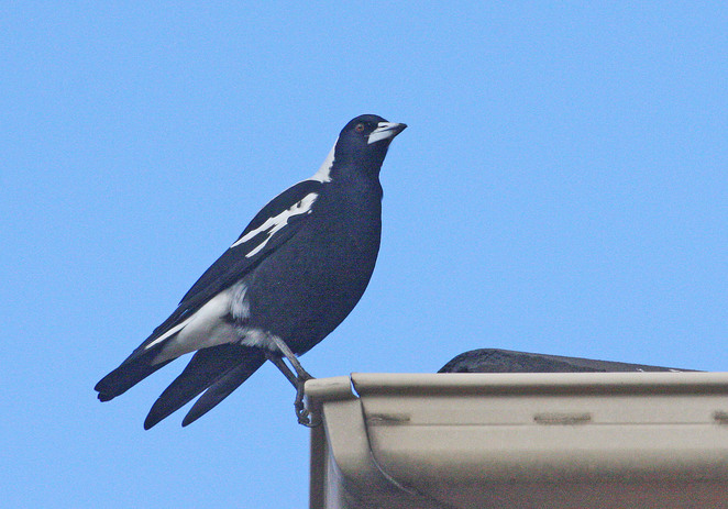 magpie on gutter