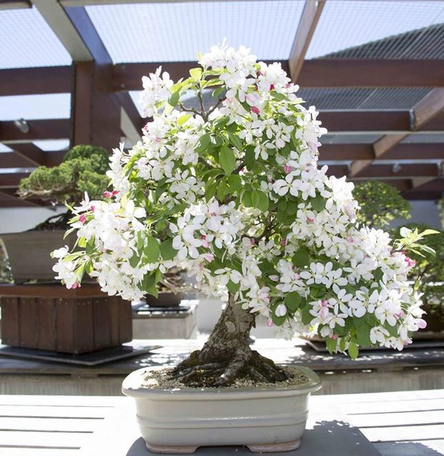 national bonsai and penjing collection, national arboretum, canberra, ACT, bonsai trees,