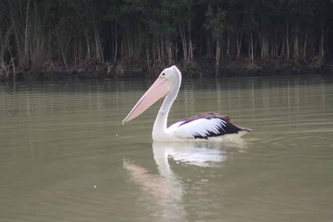 Pelican on pond