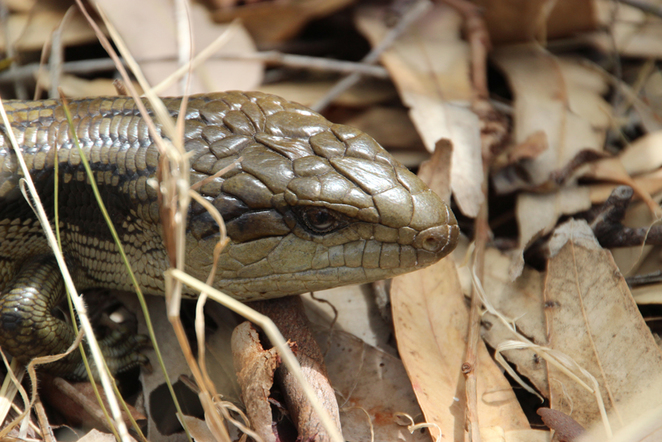 South Australian wildlife, South Australian tourism, Wildlife photography Wildlife stories, Cleland Wildlife/Conservation Park, bushwalking, blue tongue lizard