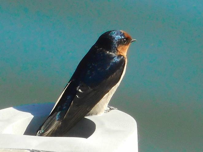 welcome swallow, lake burley griffin, canberra, ACT, bird spotting in canberra