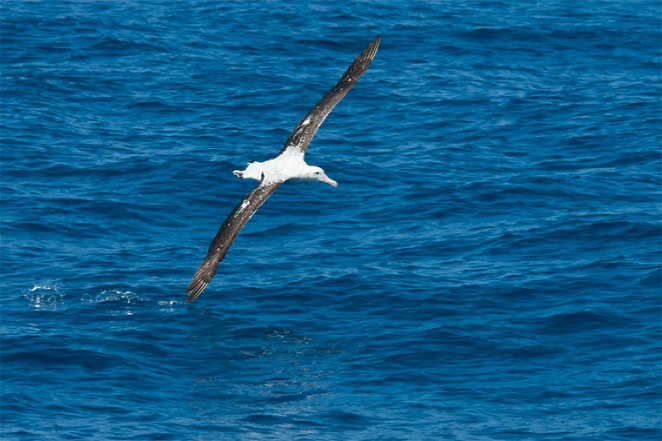 Wondering Albatross