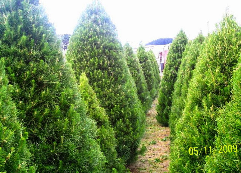 Real Christmas Tree Farms Rainforest Islands Ferry Daylesford Farm Trees