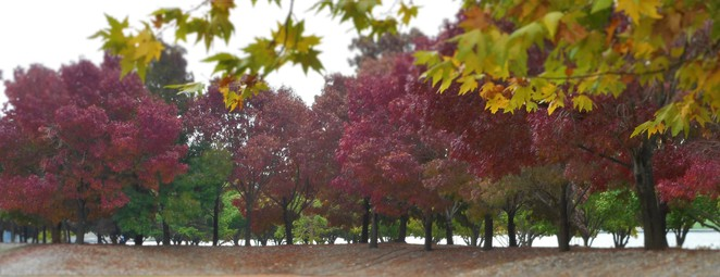 autumn, canberra, ACT, fid, children, fun things to do, autumn leaves, patrick white lawns, lake burley griffin,