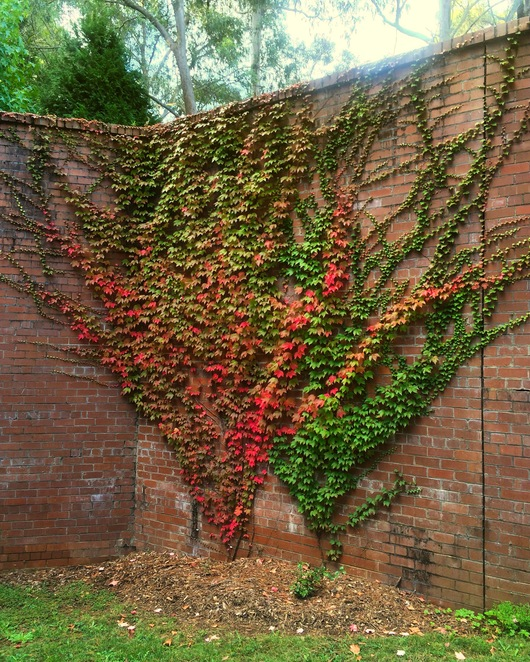 Autumn vine on the Great Wall