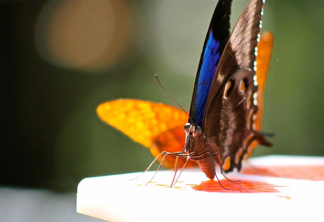 Butterfly, Butterfly House Melbourne Zoo