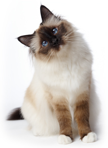 Great Catsby, Great Gatsby, cat, kitten, feline, kitty, fluffy, pet, animal shelter, adoption, Lost Dogs Home