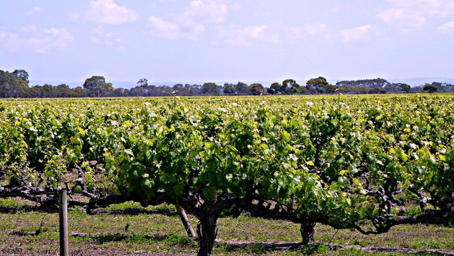 Langhorne Creek, Wine, Lake Breeze, Wineries, Grapes, Bernoota