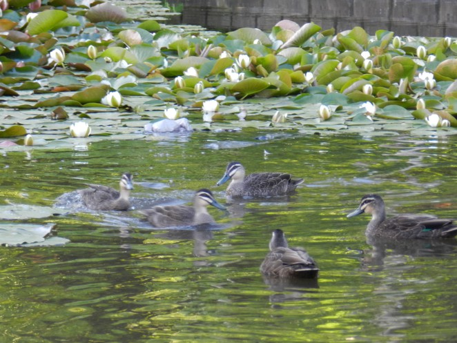 marsh, ducks, wilson botanic park, playgrounds in melbourne, playgrounds in berwick, play spaces in city of casey, pacific black duck,