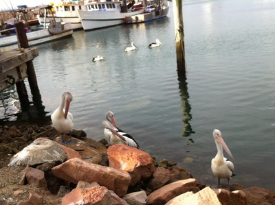 Pelicans at Nelson Bay
