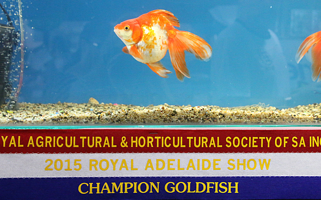Adelaide Royal Show, 2016, animals, goldfish