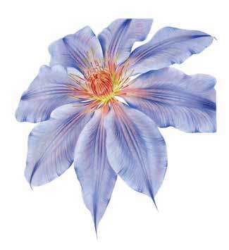 Clematis x hybrida John Pastoriza-Piñol botanical art nature workshop lesson class