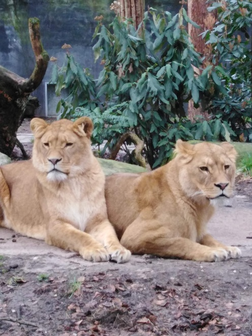 Members of the majestic lion family
