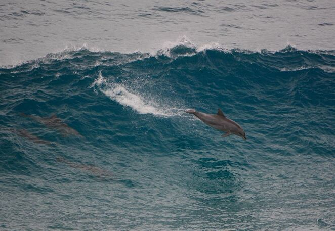 A wild dolphin surfing towards the Gorge at Point Lookout