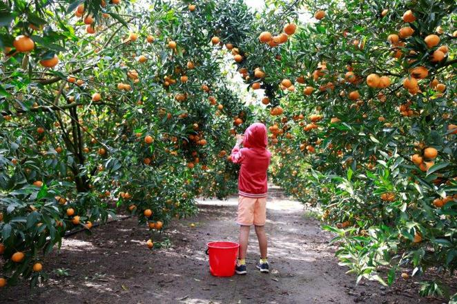 Mandarins, pick your own, Hawkesbury trail, wisemans ferry, fun with kids, pick your own mandarins, day out with kids, family day trips, Sydney local day trips