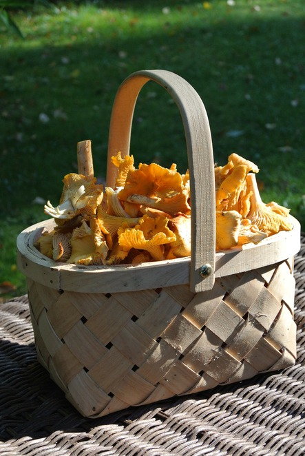mushroom picking, foraging, mushrooms, fungi, basket,