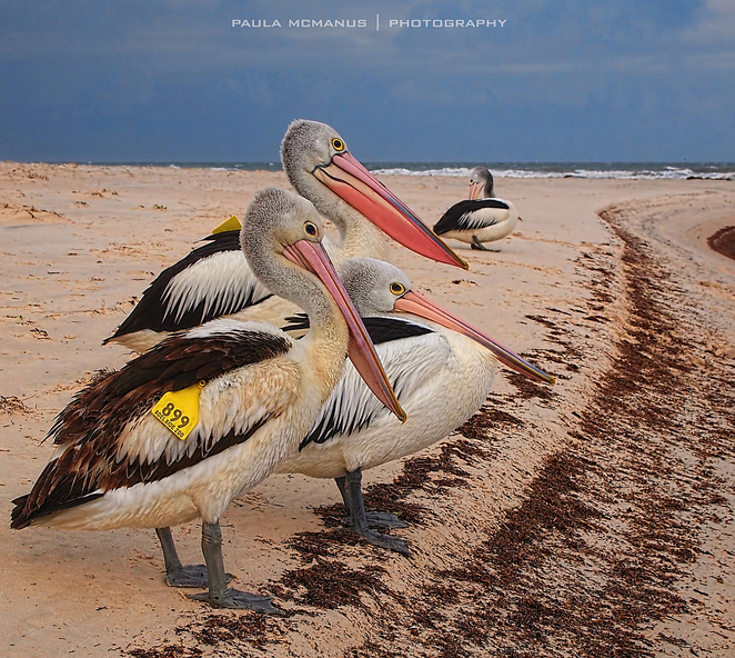 Pelicans, West Beach, Adelaide
