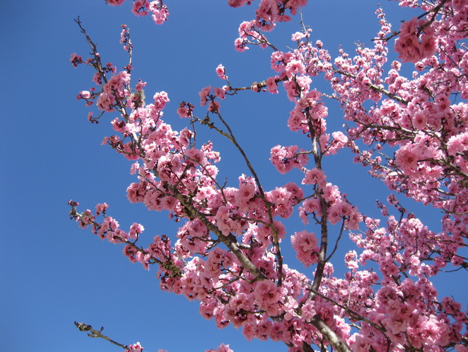 Pink cherry blossoms branches