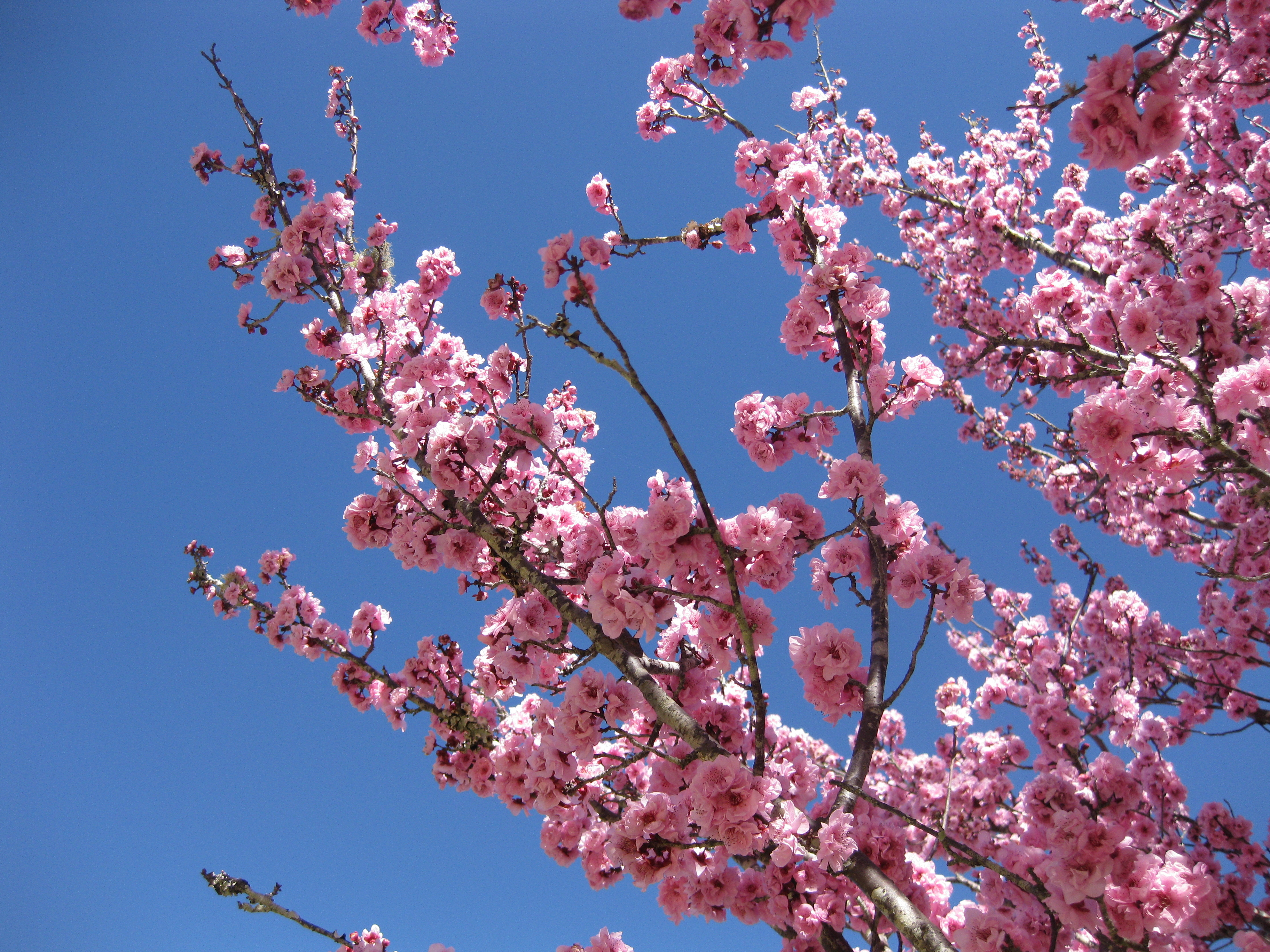 Cherry Blossoms In Toowoomba Queensland