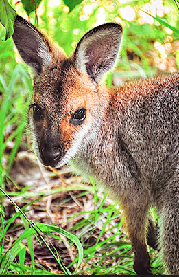 rock wallaby, nature, wildlife