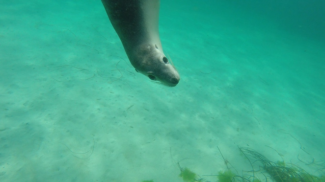 Sealions, Swim with the Sealions, Seal Cove, Hopkins Island,Port Lincoln, Calyspo Star Charters, Shark Cage Diving