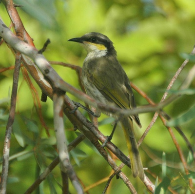 Singing,honeyeater