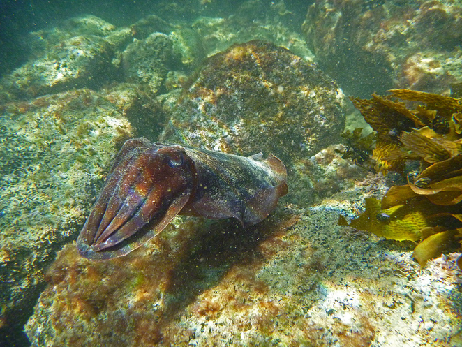 South Australian wildlife, South Australian tourism, Wildlife photography Wildlife stories, Whyalla, Freycinet trail SA, Giant cuttlefish