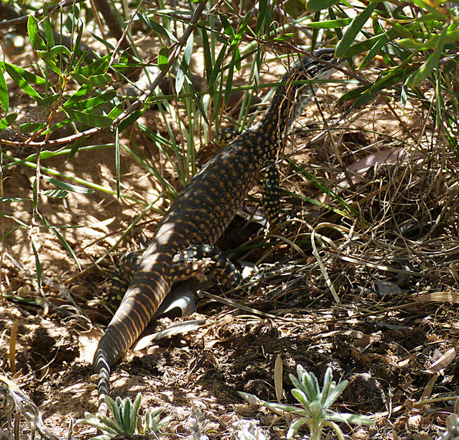 South Australian wildlife, South Australian tourism, Wildlife photography, Moonta, Australian reptiles, lace monitor, Australian lizard