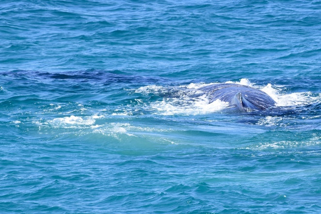 Yalingbila! A humpback whale mother turns to check in with her calf as they pass Point Lookout