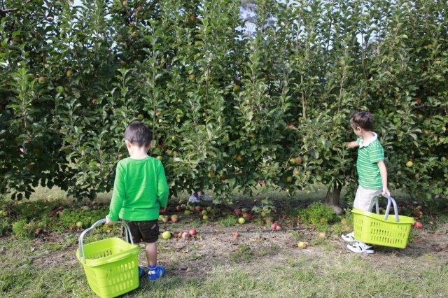 Apples, pick your own, shields orchard, fun for kids, family day outing, picnic, Bilpin, apple picking, winter excursion, 3eggsblogspot, EllenH, Lilbusgirl,