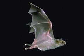 bats, 10 reasons to love bats, greater long nosed bat, tequila