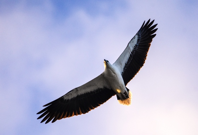 A burad (white bellied sea eagle) soaring above Beachcamp Eco Retreat at sunset