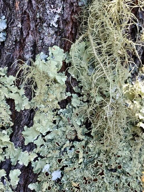 Moss and lichens growing on a rainforest tree at Ebor Falls