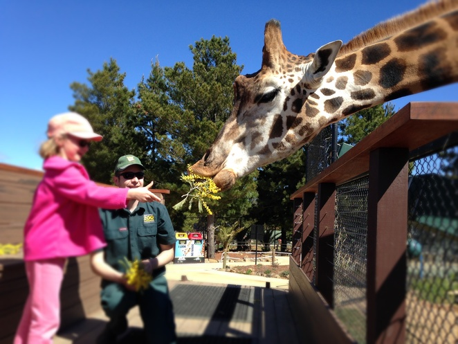 feeding a giraffe, national zoo and aquarium, canberra, ACT, tours, family events, family tours, animal encounters,