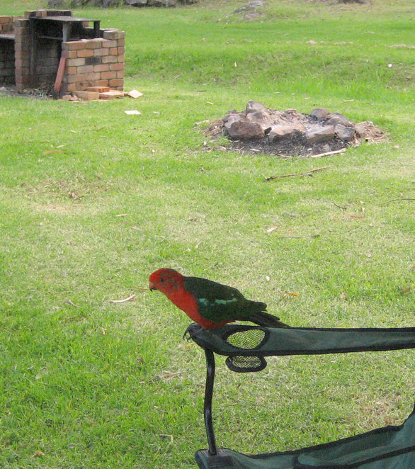 Rosellas will come and visit you while you are staying