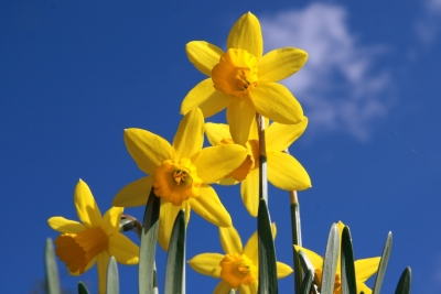 Victoria Kyneton Goldfields Daffodil Daffodils Art Exhibitions Competitions Theatre Plays Country Fair