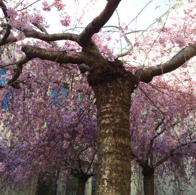 Weeping cherries in one of Parliament House's many gardens