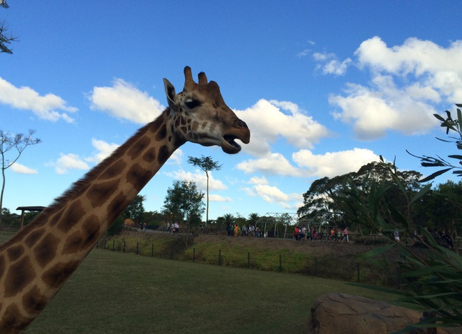 Africa, Giraffe, Australia zoo, crocoseum, crocodile, whats on, school holiday fun, zoo,