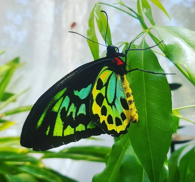 butterfly, enclosure, Gold Coast, family, experience