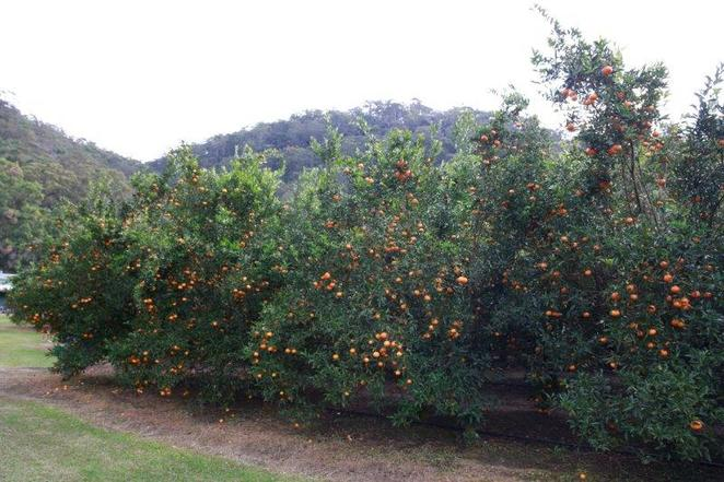 Mandarins picking, fun for kids, family outing, lilbusgirl review, wiseman ferry, travel with kids, Sydney, escape the city, weekend fun, Sydney local,