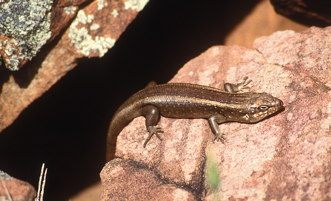 South Australian wildlife, South Australian tourism, Wildlife photography, Flinders Ranges, Moralana Trail, rock skink
