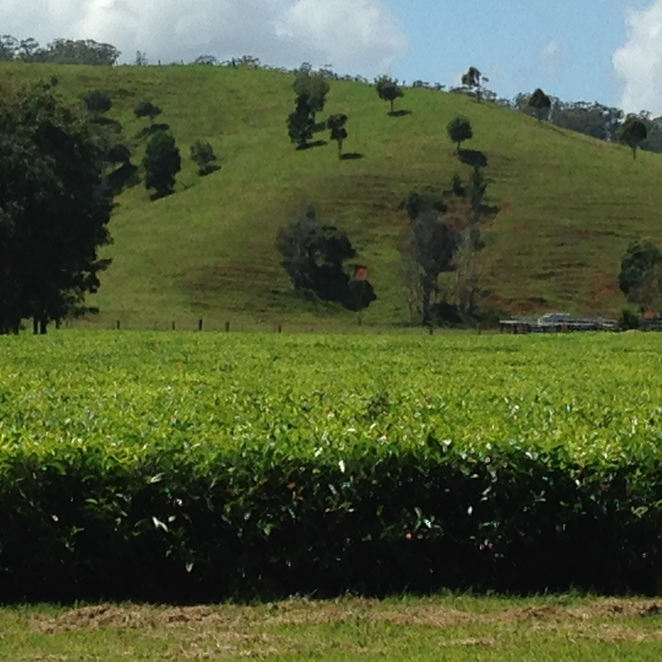 tea, Madura Tea Estates, Clothiers Creek