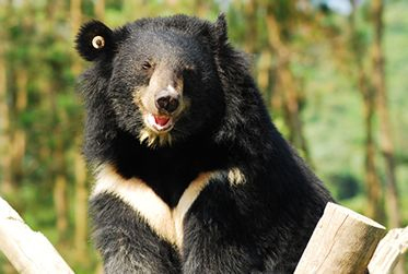 Asiatic black bear, save the bears, bears and blooms