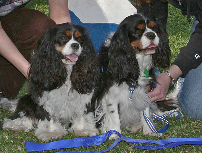 Cavalier King Charles Spaniel, Cavalier Capers, funday, best matched pair,