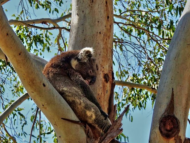 Mount Lofty Botanic Garden, Botanic Garden, mount lofty, adelaide, 40th birthday, free, koala