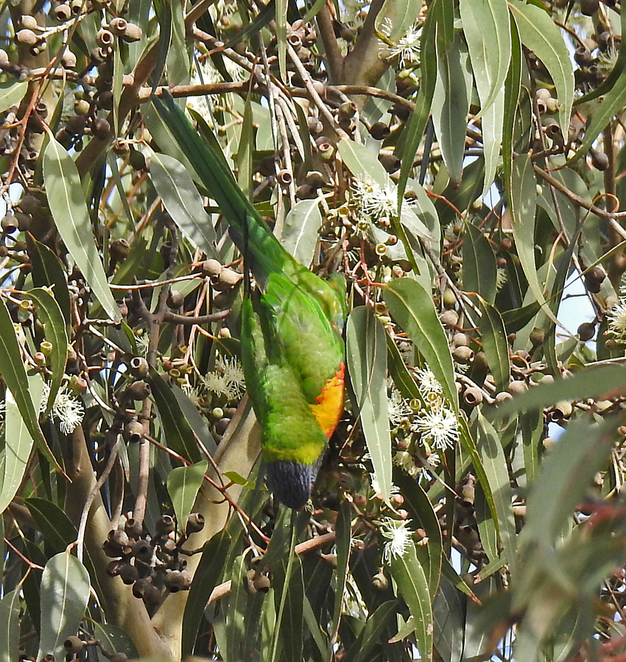South Australian wildlife, South Australian tourism, Wildlife photography Wildlife stories, Regency Park Golf Club, Regency Park, rainbow lorikeet