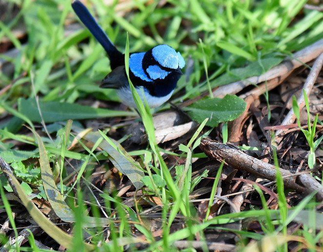 Superb Blue fairy-wren.Photo by Jane McKinnon