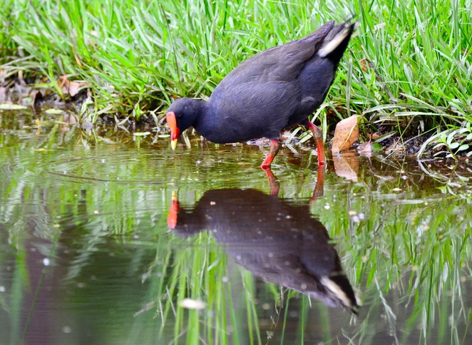 Purple swamphens can often be seen in the lake that forms part of the bioretention basin
