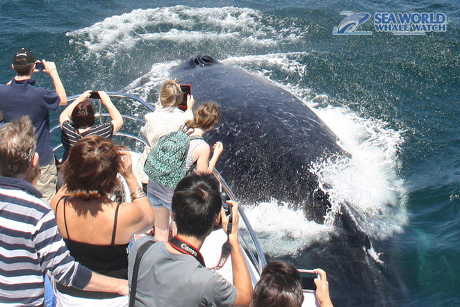 whale watching gold coast, whale watching brisbane, best whale watching brisbane, best whale watching gold coast, sea world whale watching