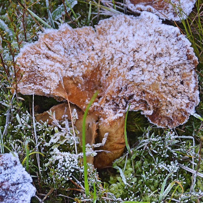 Fungi in Adelaide, Things to do in Adelaide, Mt Crawford Forest, Kuitpo Forest, Mushrooms, Truffles, Toadstools, Fox Creek, Pine Forest